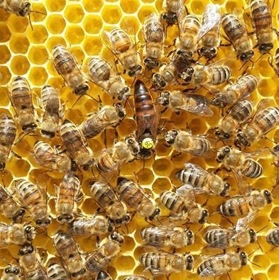 La reine est bien identifiable par sa longueur et sa pastille collée par l'apiculteur.