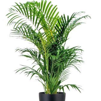 indoor palm trees on Kentia Palm Tree Event Hire Supazaar Indoor Plants House Plants Floor Plants