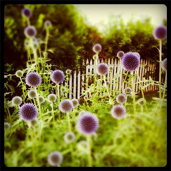 Thistle Puff Purple Photography By Bunderful On Etsy Art Photography Fine Art Photography Flowers