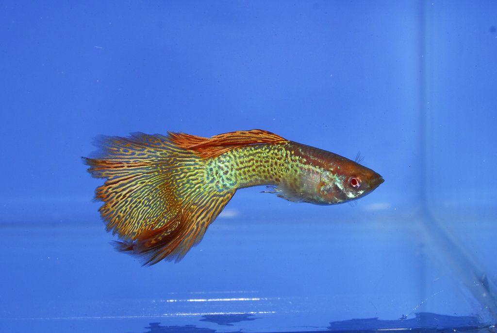 Albino Red Lace Guppy Fish Betta Aquarium Guppy