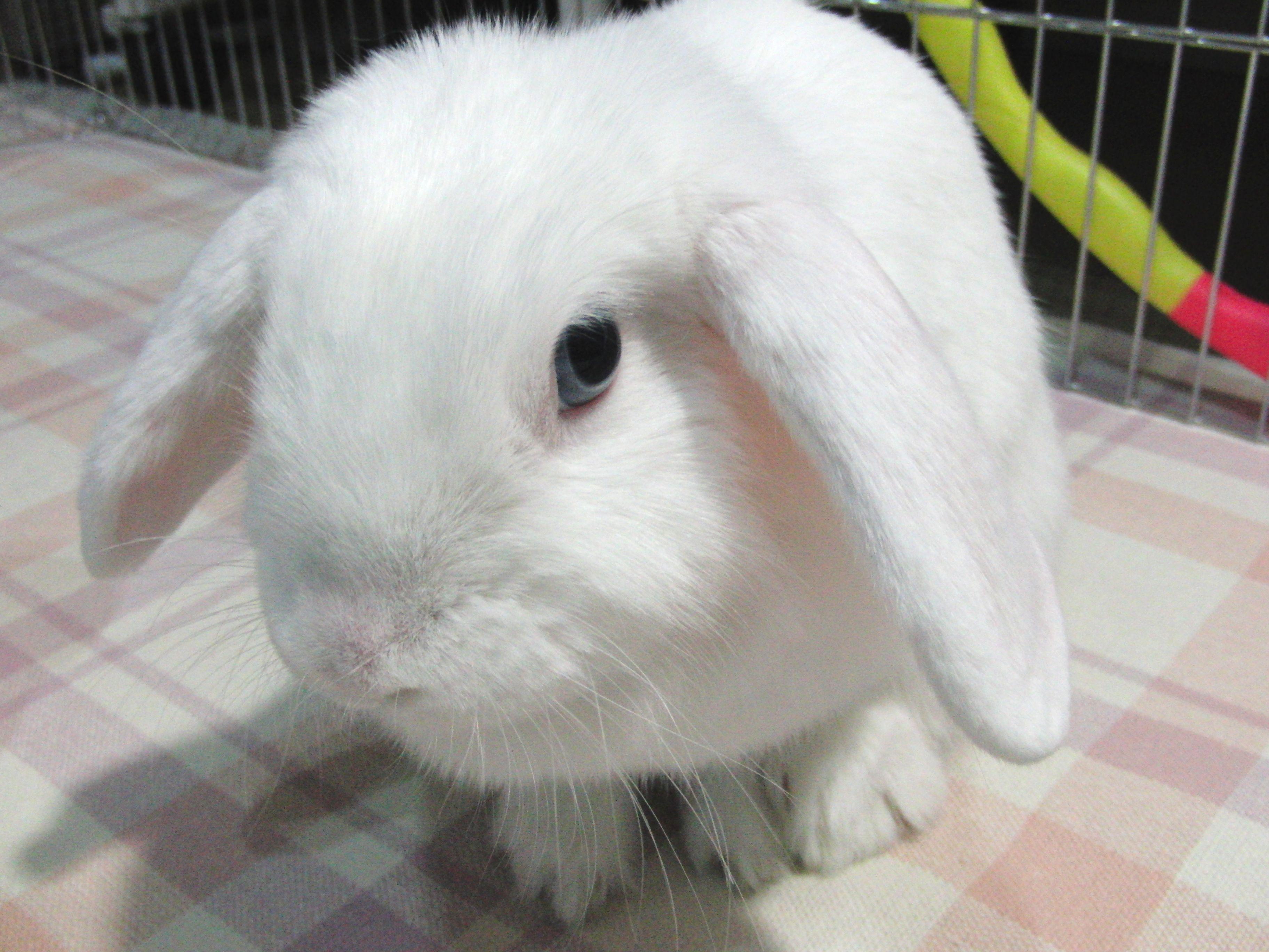 Holland Lop Blue Eyed White Bunny Rabbit usa