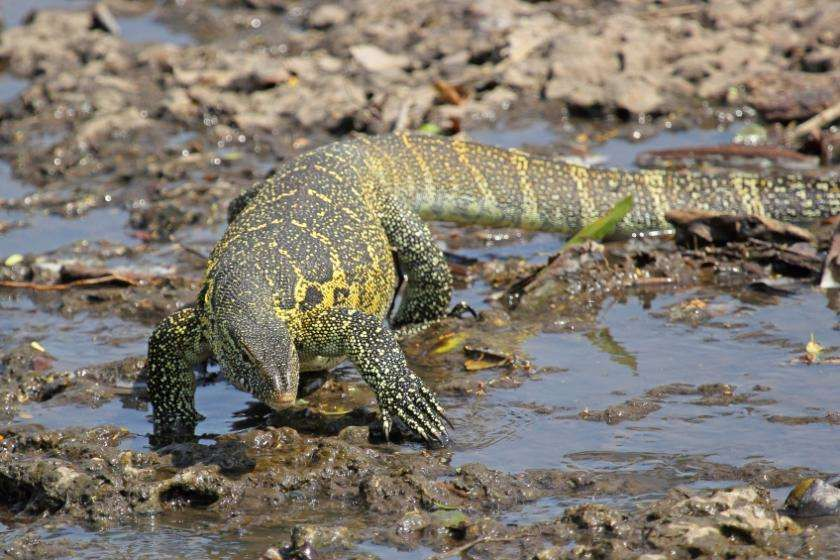 These 5-foot lizards are eating Florida's cats