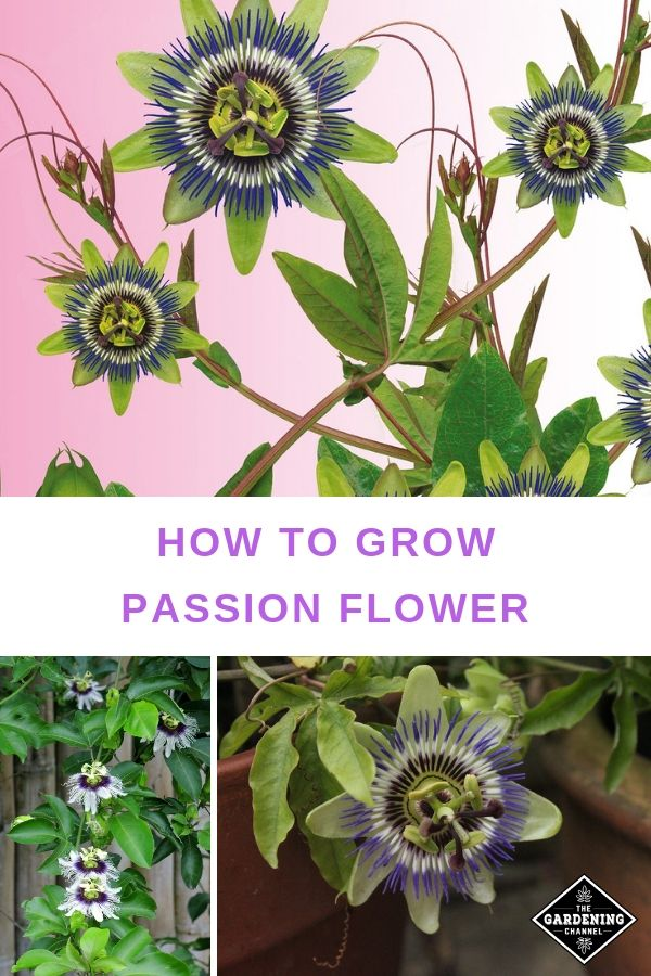 How To Grow Passionflower Gardening Channel Passion Flower Plant Passion Flower Flowering Vines
