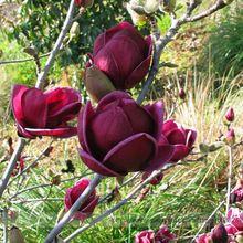 Rare Deep Purple Black Magnolia Yulan Flower Tulip Tree 10 Seeds Fragrant