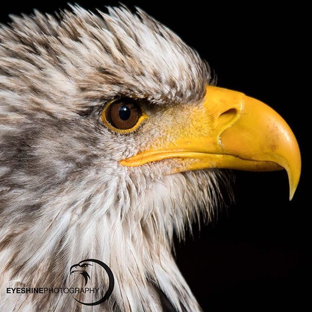 Immature Eagle 4 years old | Bald Eagle Series . This is ...