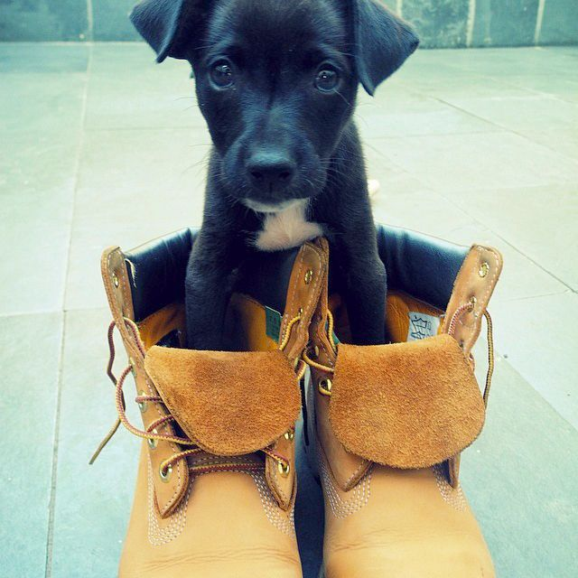 Stompin' with the big dogs now. #timberland #puppy