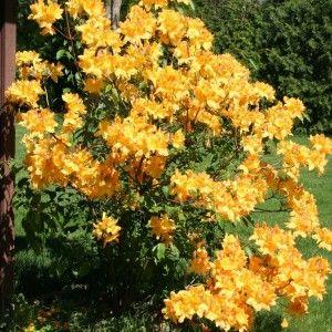 Golden Lights Azalea Under Front Maple