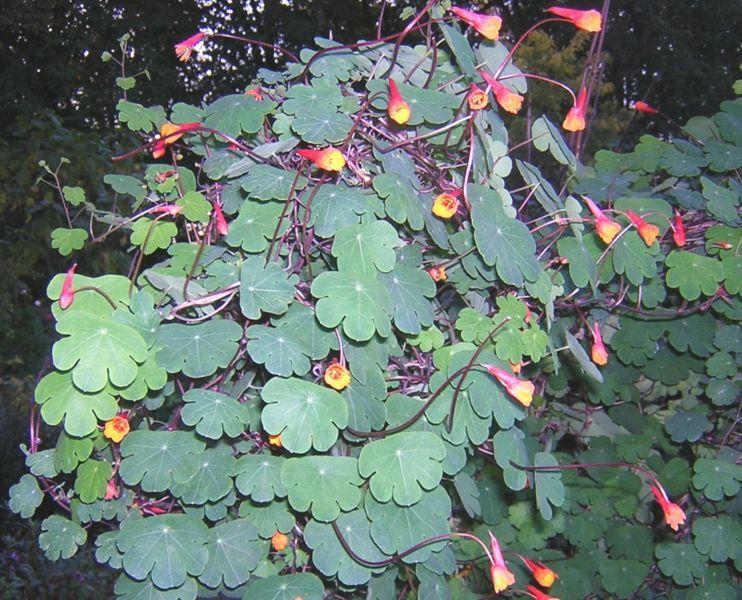 Tropaeolum tuberosum Nasturtium, Plants, Best led grow
