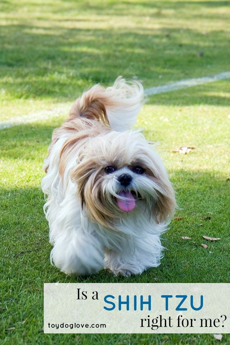 Shih Tzu Breed Info Is This Toy Breed Right For You Dog