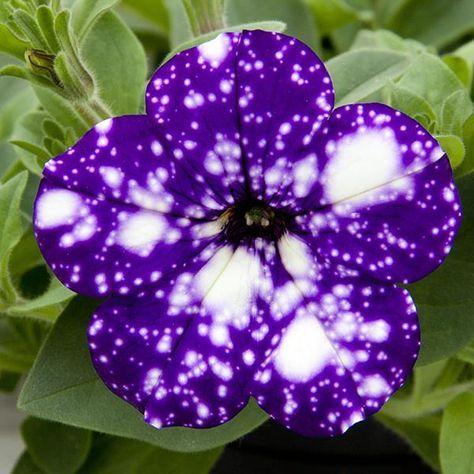 Night Sky Petunia Night Sky Petunia Galaxy Flowers Petunias