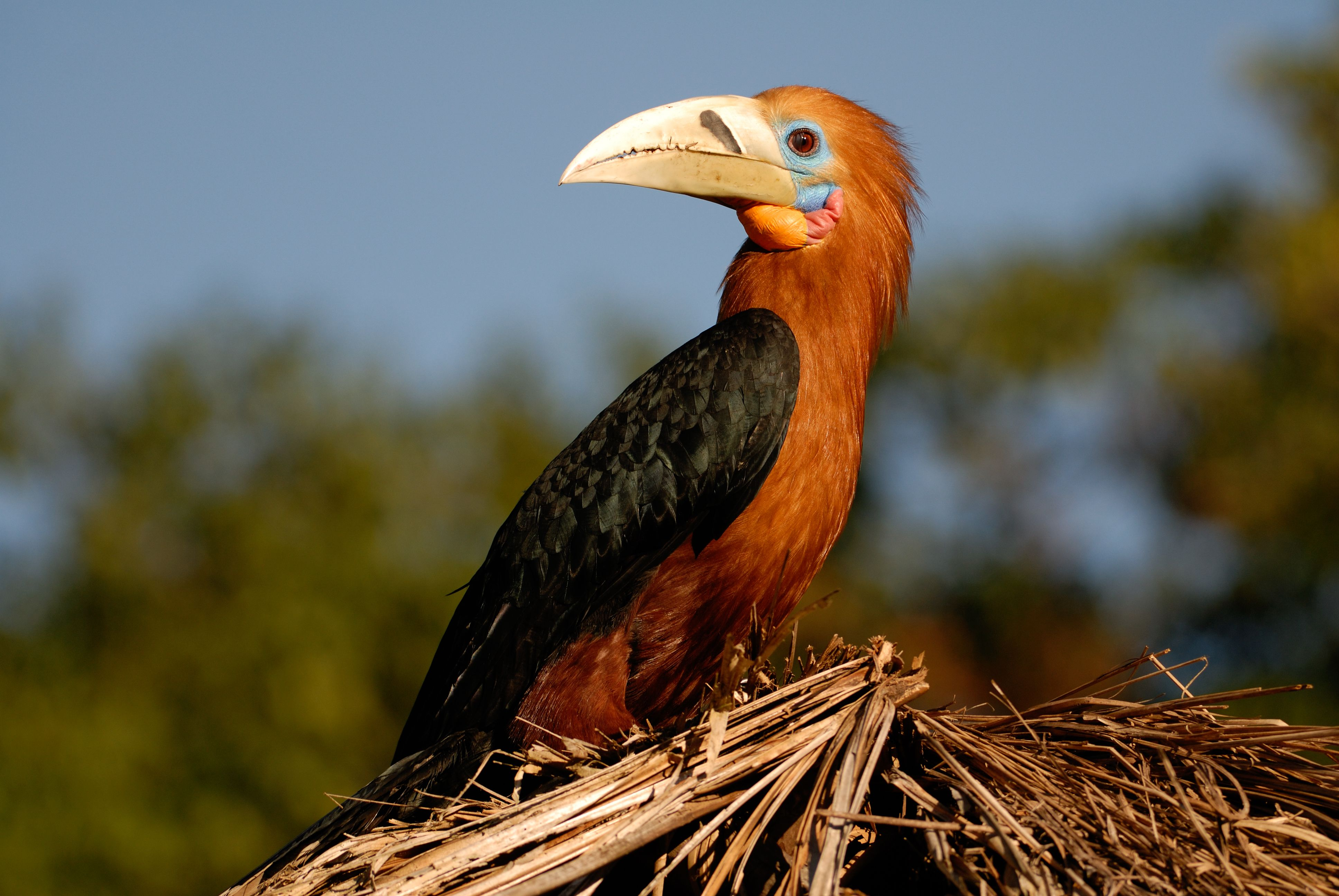 961. Rufousnecked Hornbill (Aceros nipalensis) the