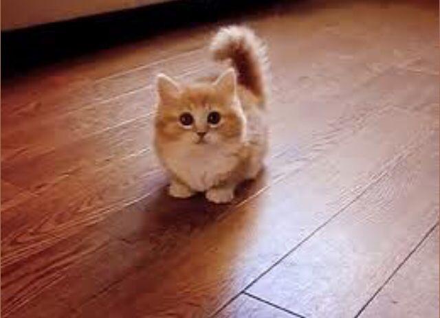 Miniture Cat Kittens Cutest Munchkin Kitten Munchkin Cat