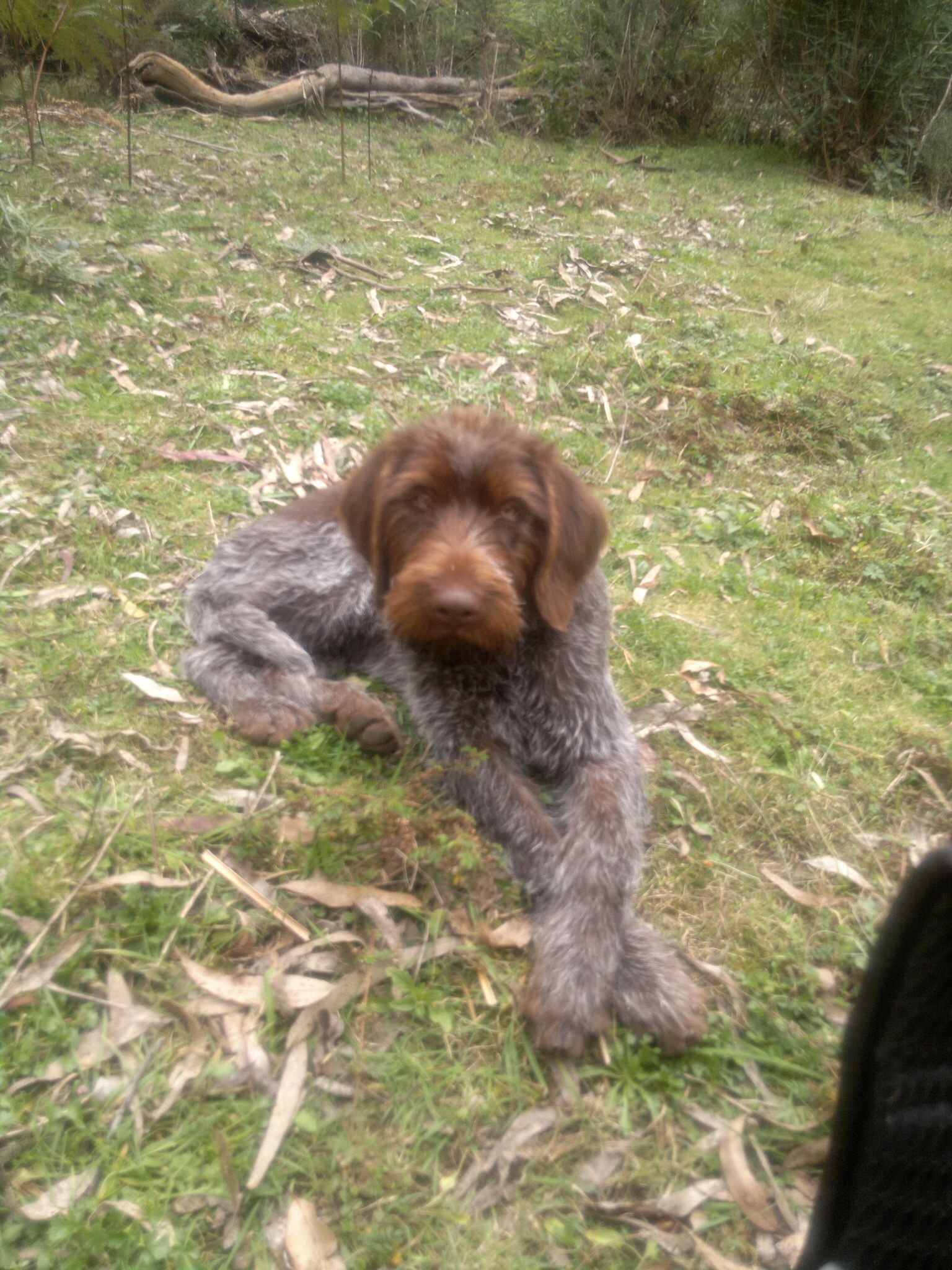 Puppy German wire haired pointer Animal magic, Dogs, Puppies