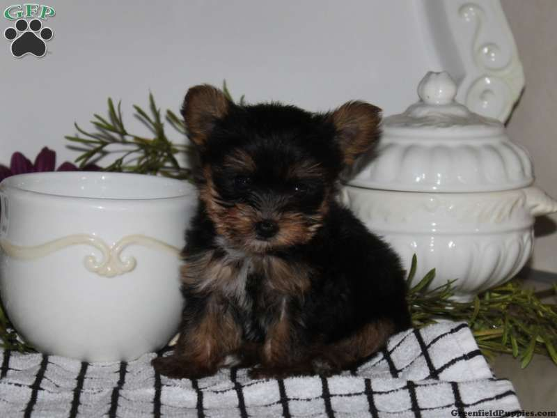 Topsy A Cute Little Teacup Yorkie Puppy For Sale From Manheim Pa
