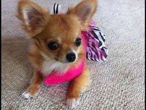 Tiny Purse Size Long Hair Apple Head Chihuahua Windsor Region
