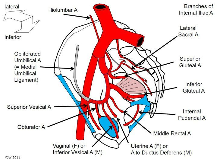 Tutorial 28 How To Remember The Branches Of The Internal Iliac Artery Arteries Arteries Anatomy Subclavian Artery