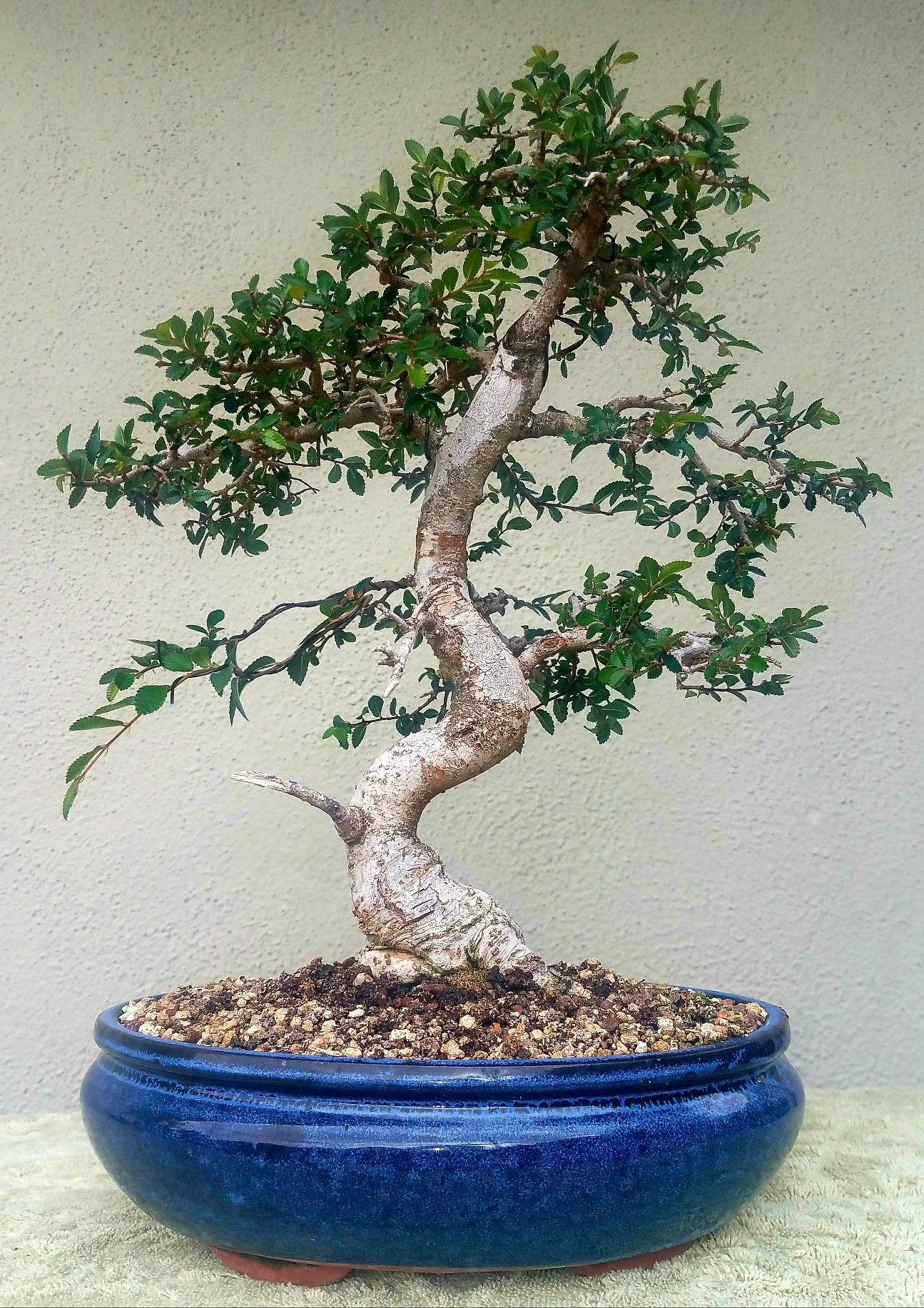Picture 6 I Did Some Pruning And Wiring On My Chinese Elm Bonsai 4 10 1 17