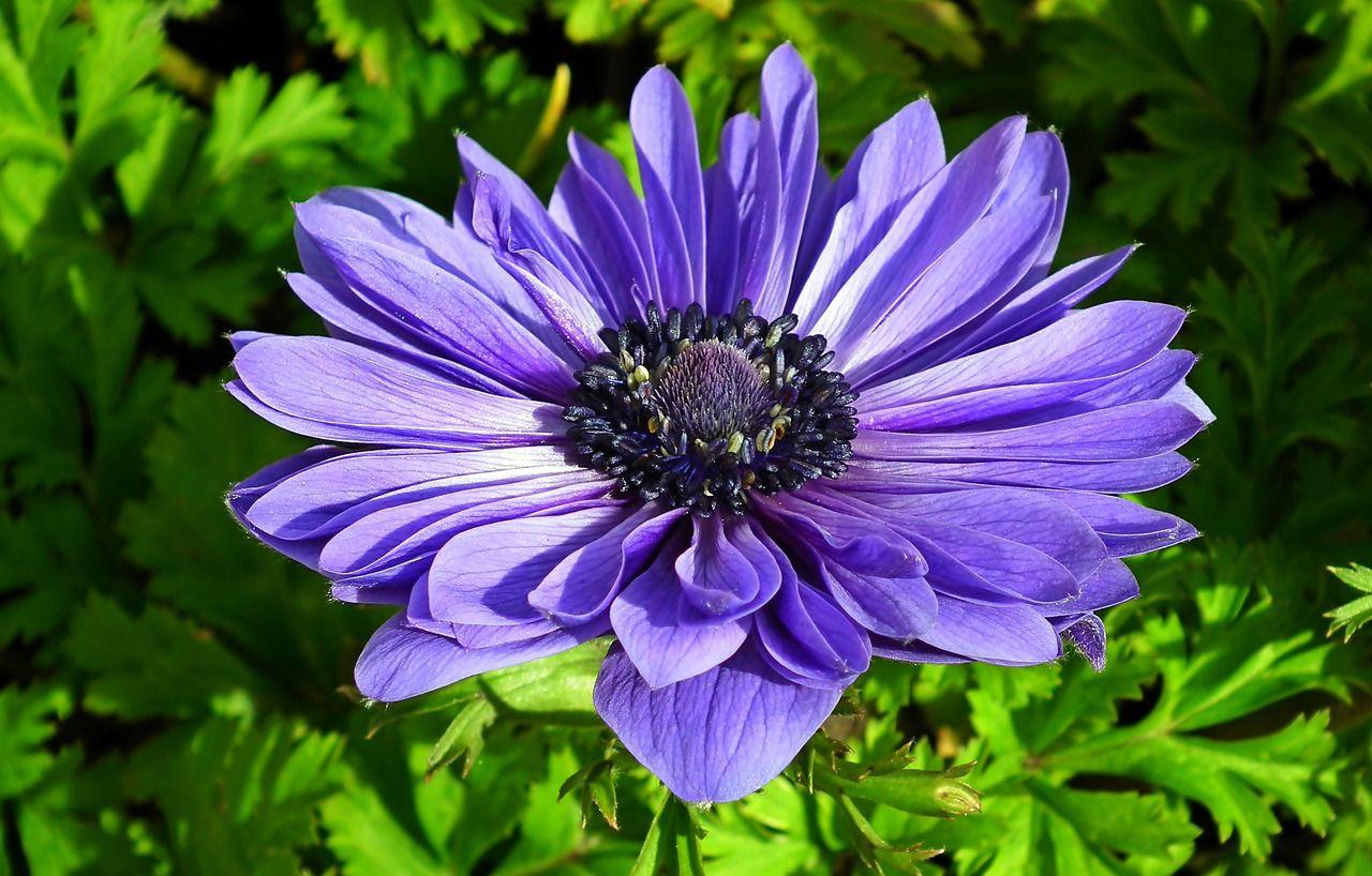 Anemone Flower Blue Anemone Blue Flower In 2020 Anemone Flower Anemone Flowers