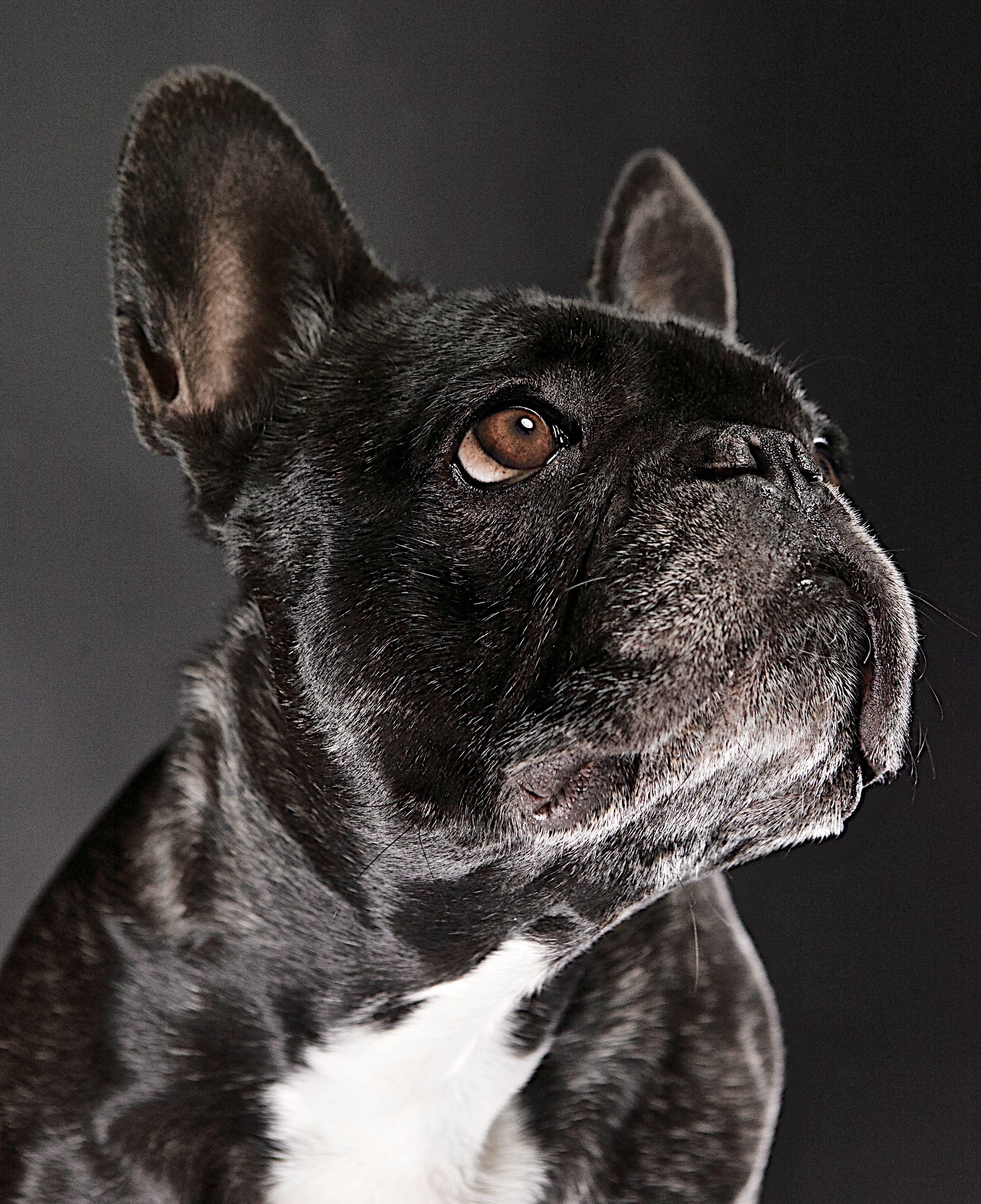 Epingle Sur French Bulldogs