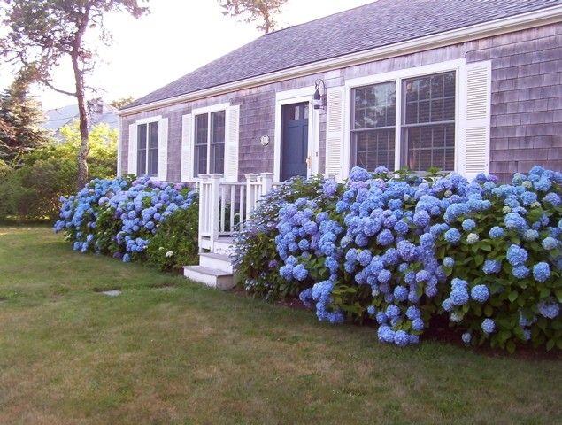 hydrangeas front of house