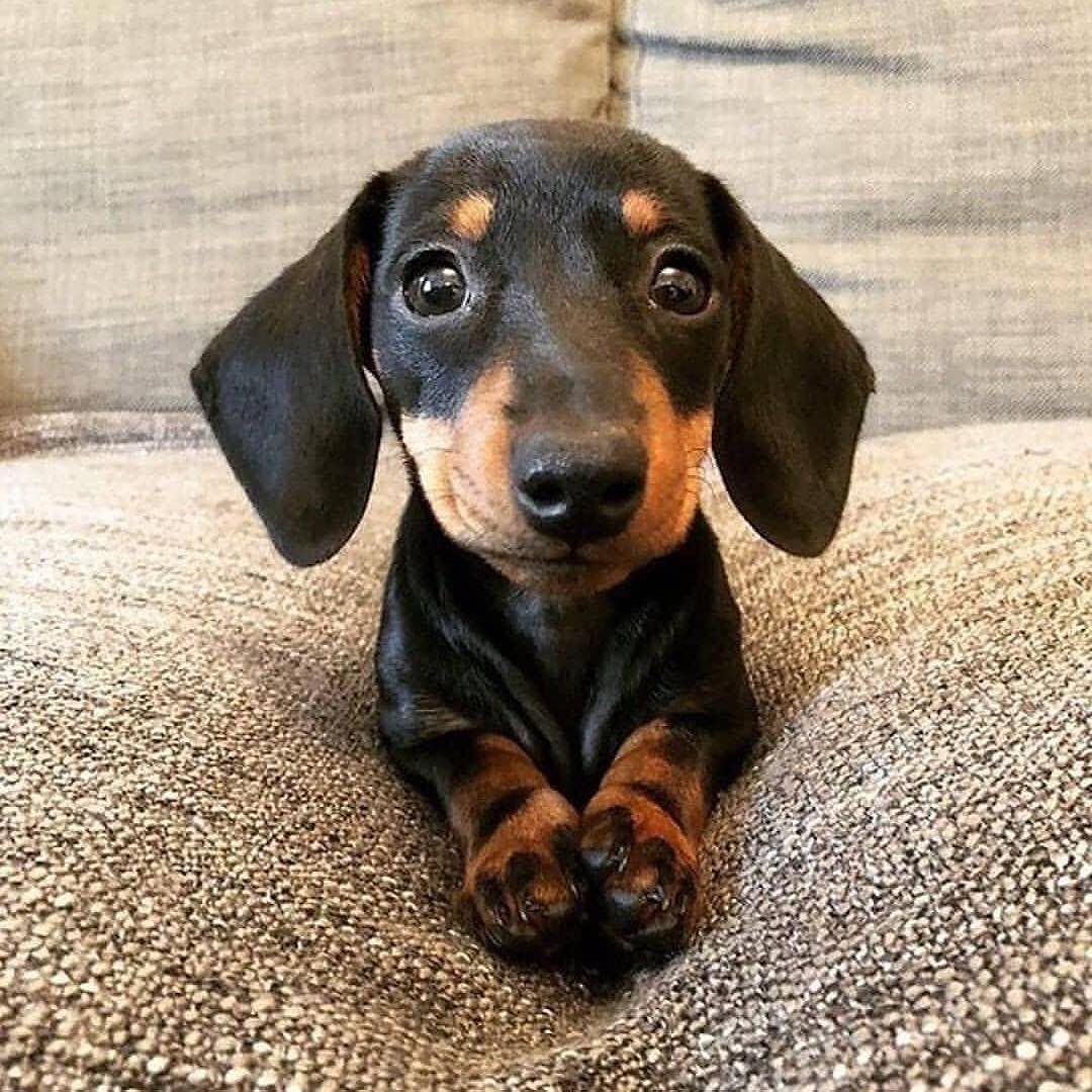 Daily Doxie Dachshund Pics On Instagram When It S Almost