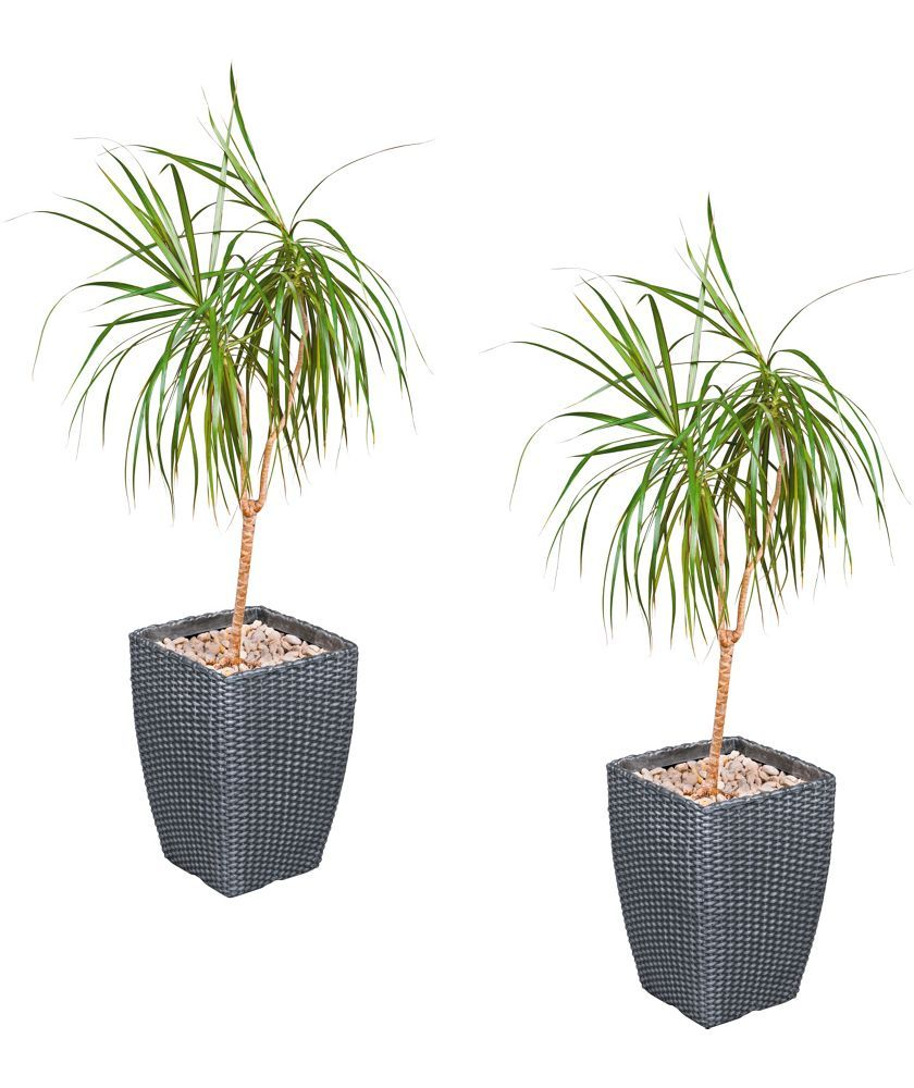 Unique Buy Tall Rattan Effect Garden Planters  Pack Of  At Argoscouk  With Lovely Buy Tall Rattan Effect Garden Planters  Pack Of  At Argoscouk With Cute Garden Centre Milton Keynes Also Botanical Gardens Light Show In Addition Gymbox Covent Garden And House In Garden As Well As Cresswell Gardens Additionally Cheap Garden Flooring From Pinterestcom With   Lovely Buy Tall Rattan Effect Garden Planters  Pack Of  At Argoscouk  With Cute Buy Tall Rattan Effect Garden Planters  Pack Of  At Argoscouk And Unique Garden Centre Milton Keynes Also Botanical Gardens Light Show In Addition Gymbox Covent Garden From Pinterestcom