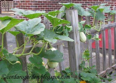 Spaghetti Squash Vine The Gardener Of Eden Hot Home Garden Happenings Garden Seeds Home And Garden Garden Plots