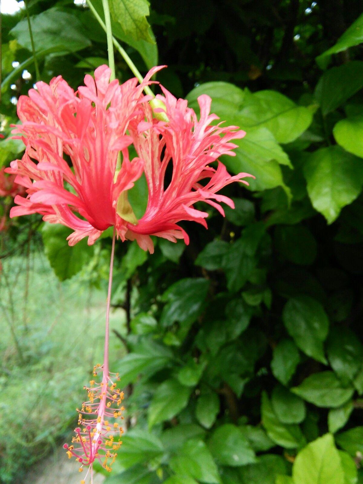 Hangin the hibiscus flower hibiscus 蚱