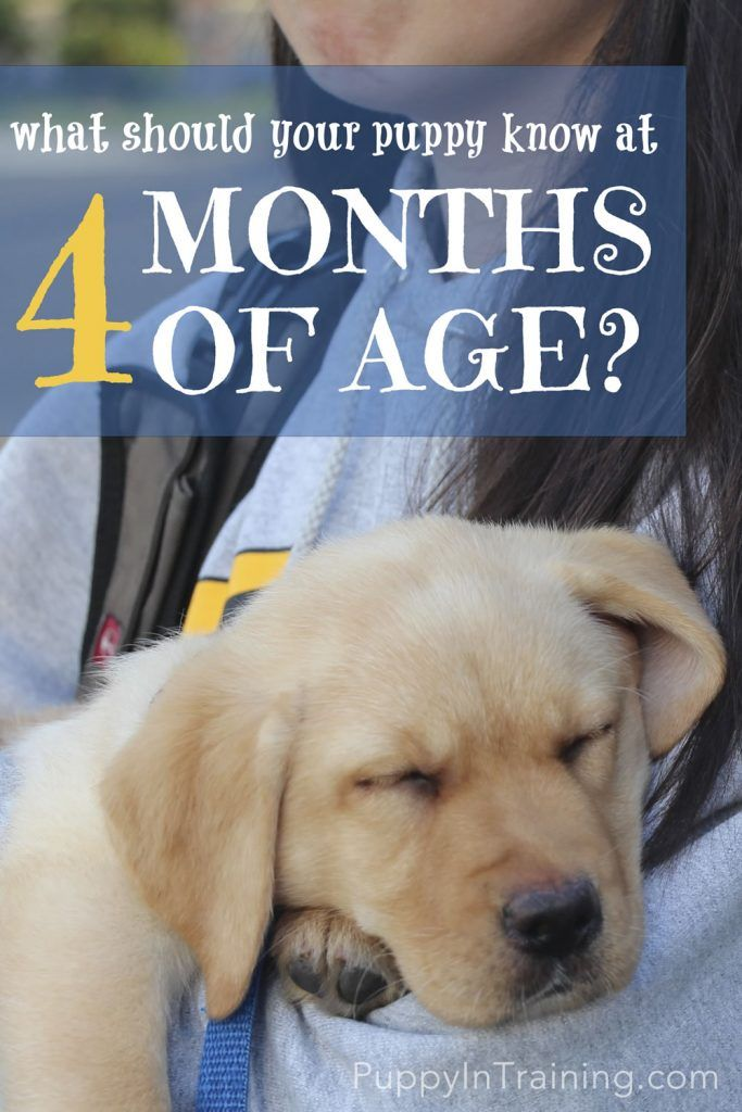 What Should Your Puppy Know At 4 Months Of Age Dog Training
