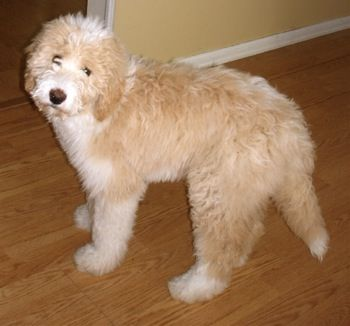 Great Pyrenees Poodle Mixes Gabe The Pyredoodle At 6 Months Old