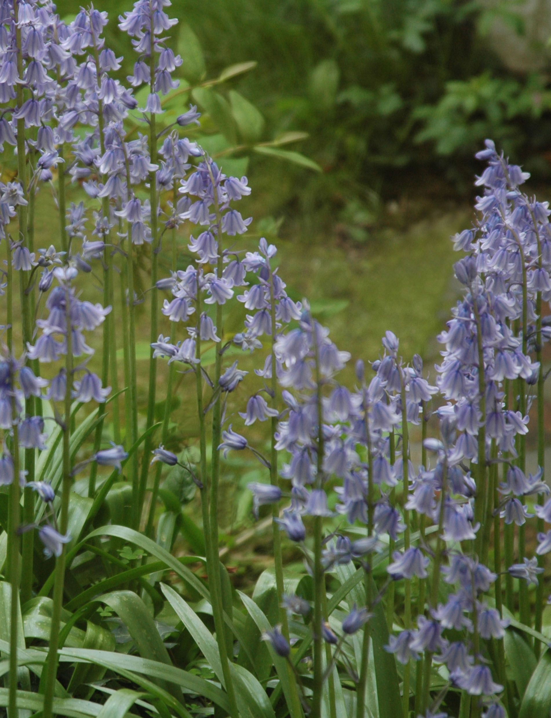 Bluebell Wave