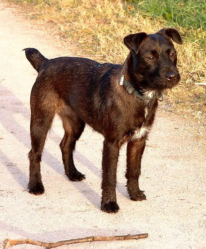 Patterdale Terrier Rare Dogs Patterdale Terrier Dog Breeds