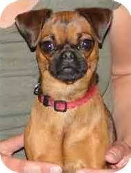 Pug Miniature Pinscher Mix Dog For Adoption In Brantford Ontario