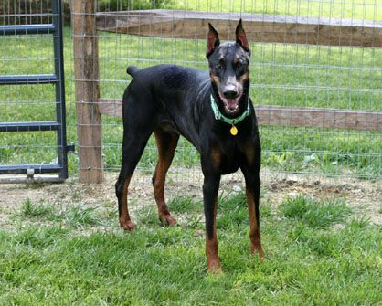 Doberman Rescue Of The Triad Available Dobes Doberman Rescue