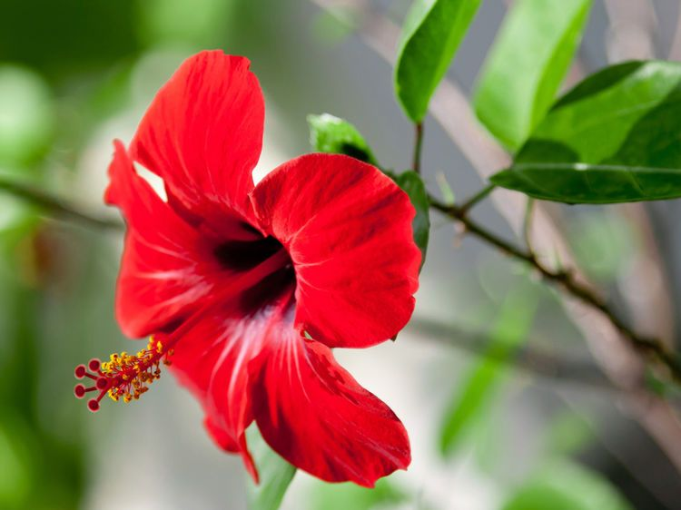 hibiscus 5 conseils d 39 entretien plantes pinterest. Black Bedroom Furniture Sets. Home Design Ideas