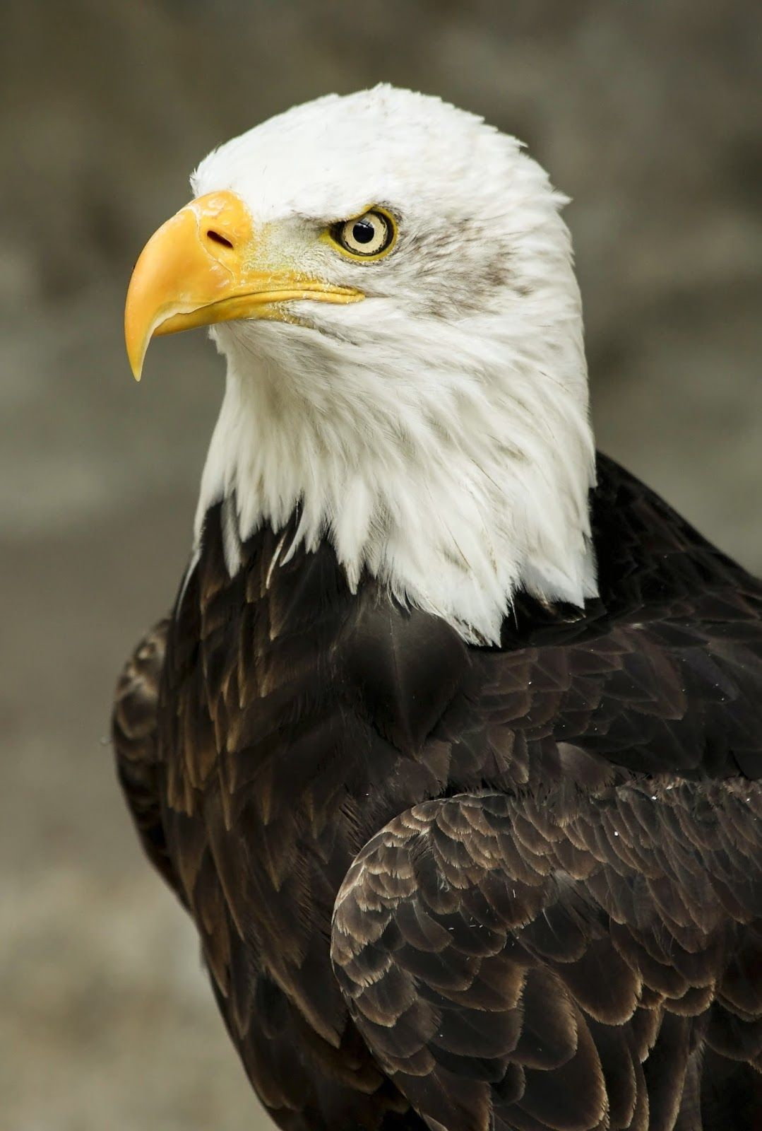 A Picture Of A Bald Eagle