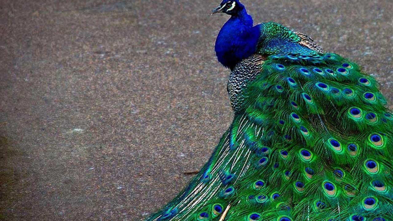 أين يعيش الطاووس Animals Peacock