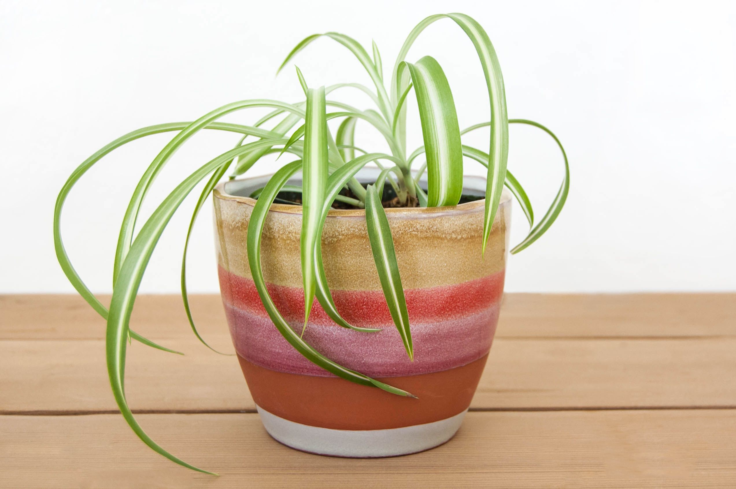Spider plant tips for growing care and propagating spider plants