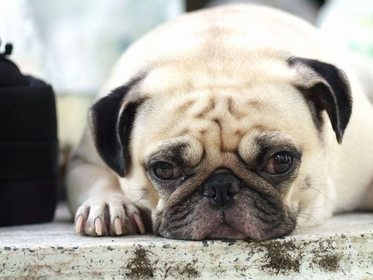 Pug Names For The One Of A Kind Male Or Female Pugs Cute Pugs