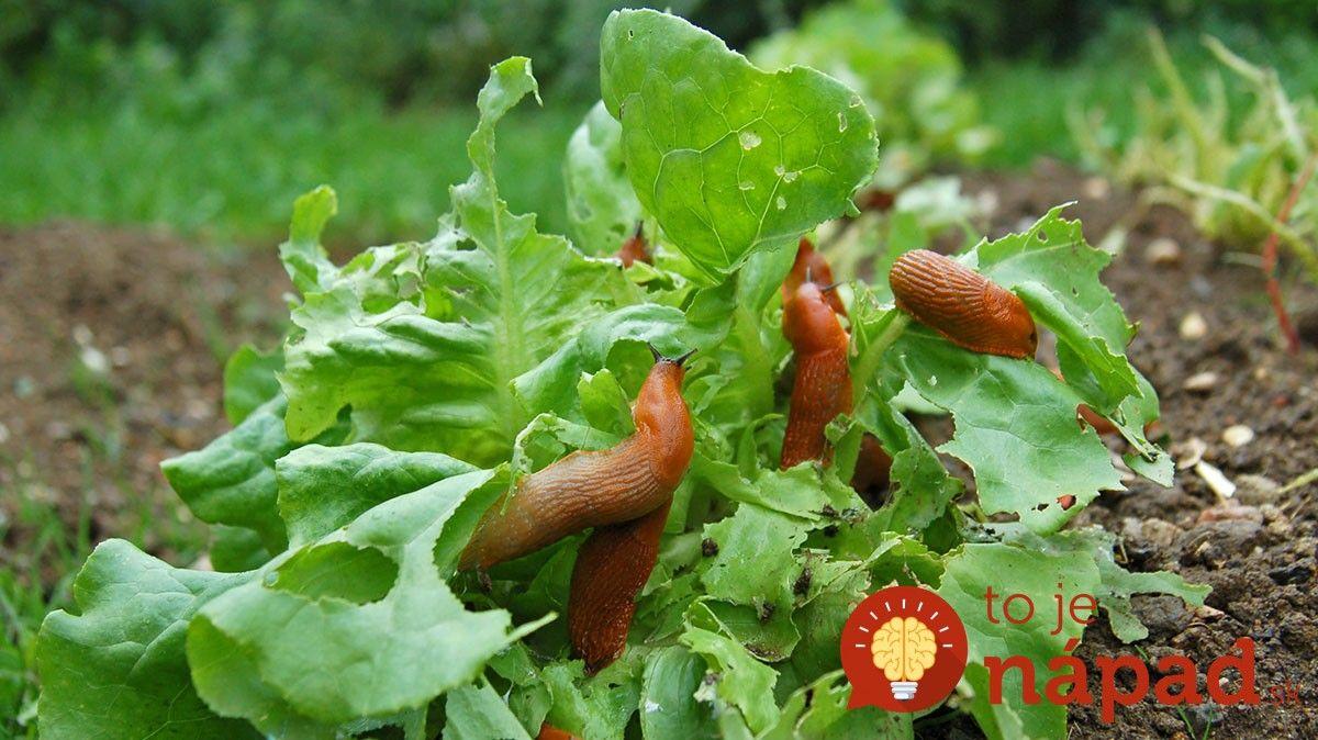 Nedovoľte slimákom, aby zničili vašu úrodu. Takto sa ich zbavíte účinne a ekologicky.