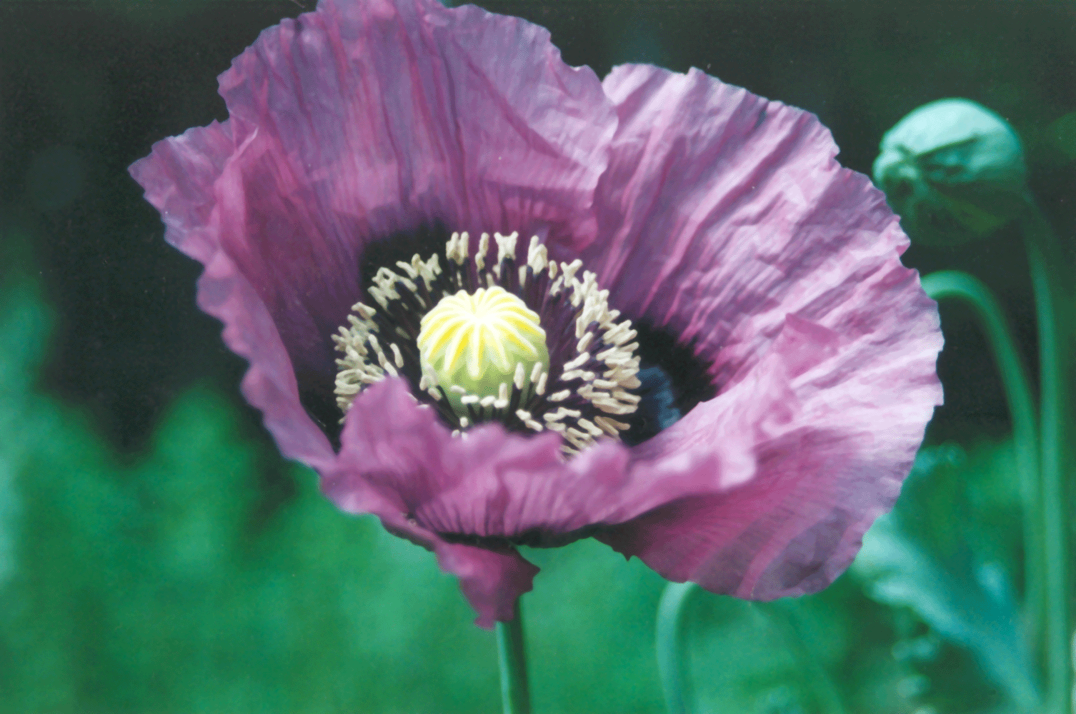 Poppy wikipedia the free encyclopedia examples pinterest poppy wikipedia the free encyclopedia mightylinksfo