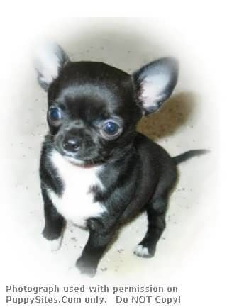 Chihuahua Dog Puppy Websites Chihuahua Dogs Teacup Chihuahua