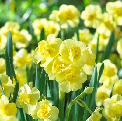 Flower Bulbs Online Whole From A D R