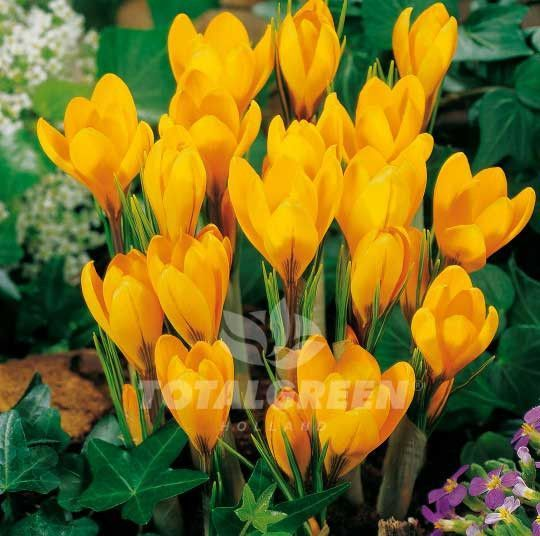 Crocus yellow crocus pinterest yellow crocus spring flowers a yellow crocus that blooms before other spring flowers come up this spring sensation creates a warm display in your early spring garden mightylinksfo