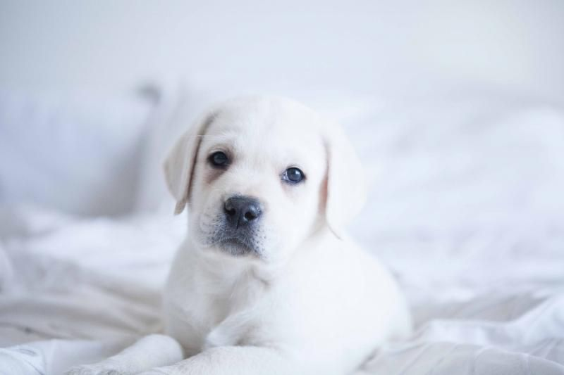 White labrador puppies for sale in southern california