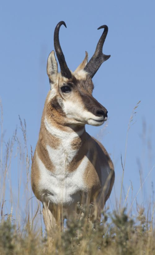 Diy Pronghorns How To Hunt Antelope Over Water Holes