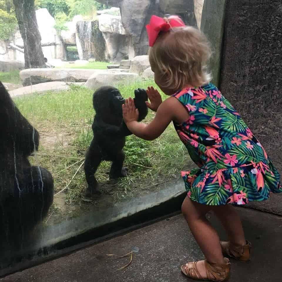 Uma menina chamada Braylee e um bebê gorila chamado Gus recentemente compartilharam um momento encantador no zoológico Fort Worth. Ele foi capturado nesta foto que viralizou.