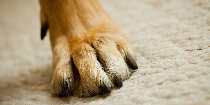 6 conseils pour prendre soin des pattes de son chien - Comment couper les griffes de son chien ...