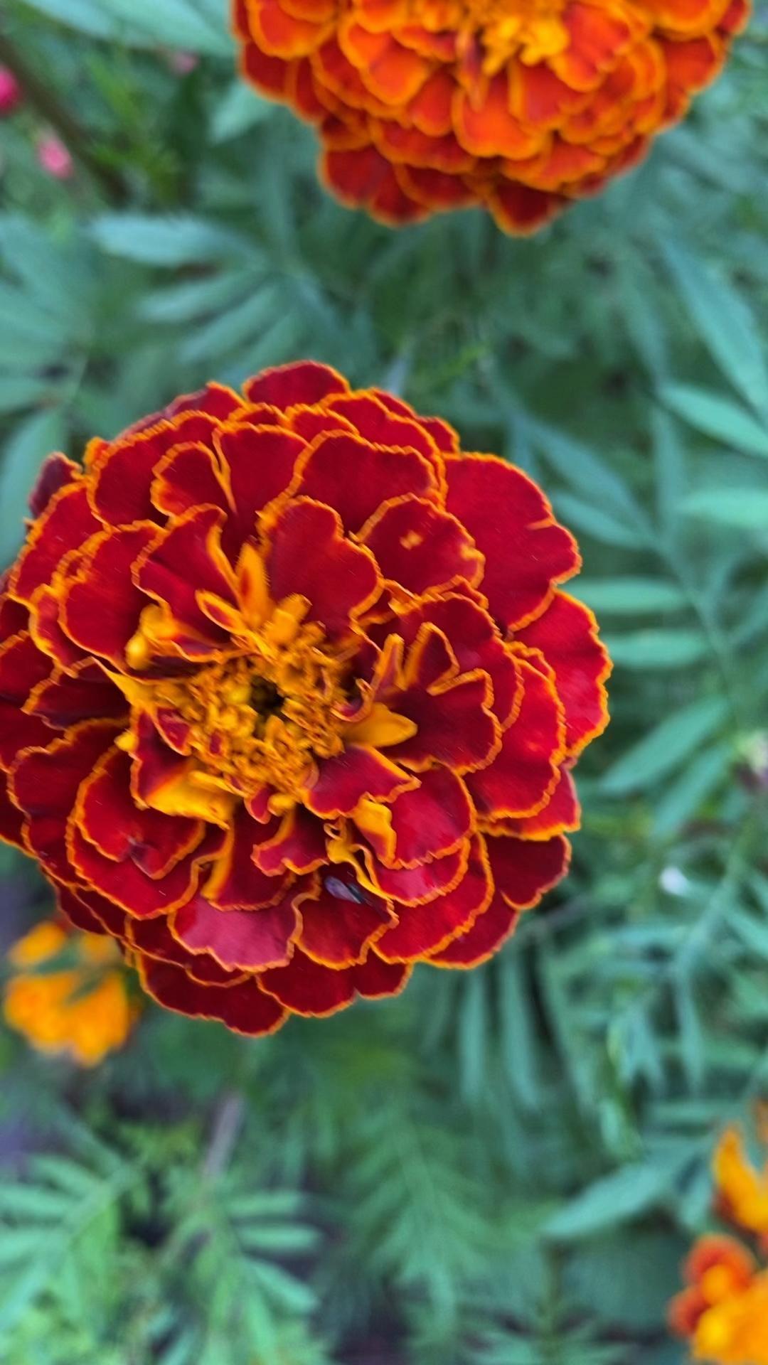 Magnificent Marigolds