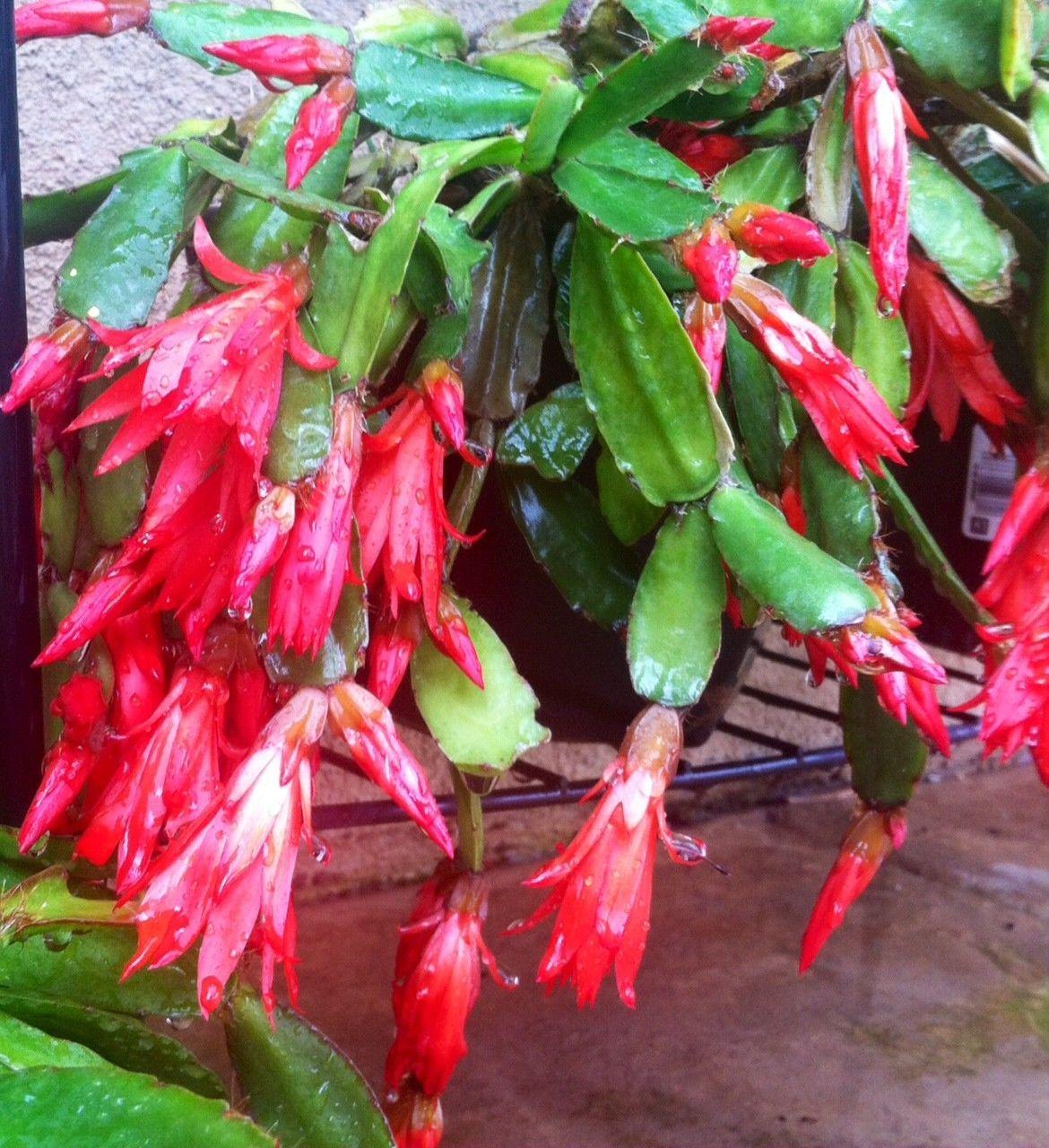 easter cactus cuttings heaving blooming deep red easter cactus